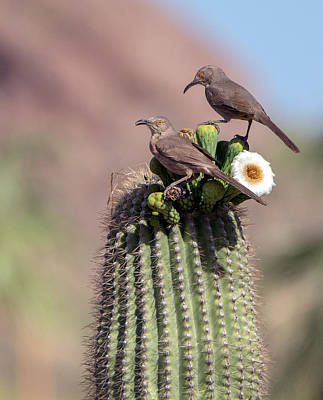 Photograph - Curve-billed Thrashers by Tam Ryan