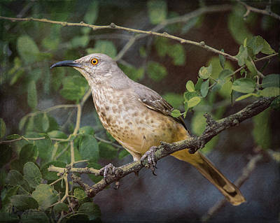 Photograph - Curver-bill Thrasher - 6330,st by Wally Hampton