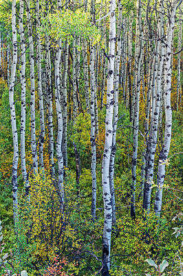 Photograph - Curvy Colorado Aspens by Willie Harper