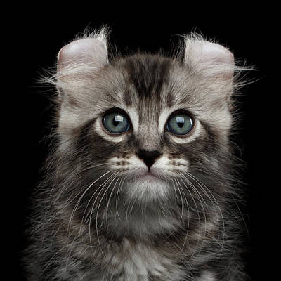Attention Photograph - Cute American Curl Kitten With Twisted Ears Isolated Black Background by Sergey Taran
