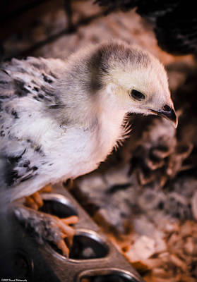 Photograph - Cute Baby Chick 2 by Debra Forand