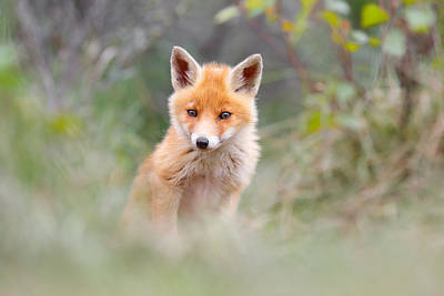 Hiding Photograph - Cute Baby Fox by Roeselien Raimond