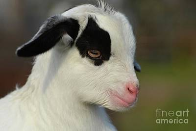 Photograph - Cute Baby Goat by Savannah Gibbs