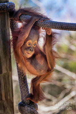 Photograph - Cute Baby Orangutan by Stephanie Hayes