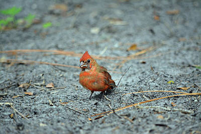 Photograph - Juvenile Male Cardinal by Aimee L Maher Photography and Art Visit ALMGallerydotcom