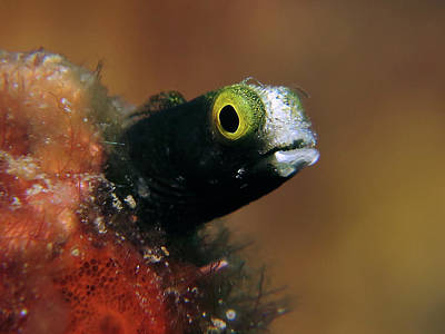 Photograph - Cute Blenny by Mauricio Riquelme
