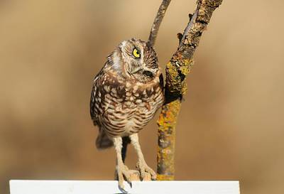 Photograph - Cute Burrowing Owl by Lynn Hopwood