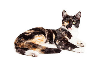 Calico Cat Photograph - Cute Calico Kiten Sticking Tongue Out by Susan Schmitz