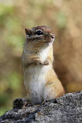 Photograph - Cute Chipmunk by Doris Potter