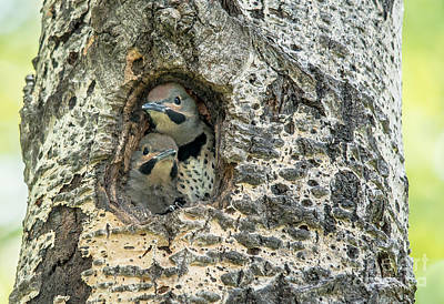 Photograph - Cute Flicker Chicks by Cheryl Baxter