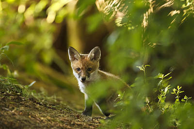 Photograph - Cute Fox Cub by Calum Dickson