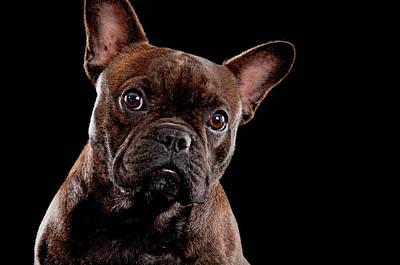 French Bull Dog Wall Art - Photograph - Cute French Bull Dog  by Hugo Orantes