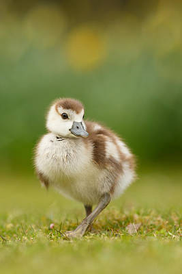 Baby Geese Wall Art - Photograph - Cute Gosling by Roeselien Raimond