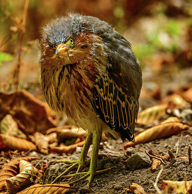 Photograph - Cute Green Heron by Jerry Cahill