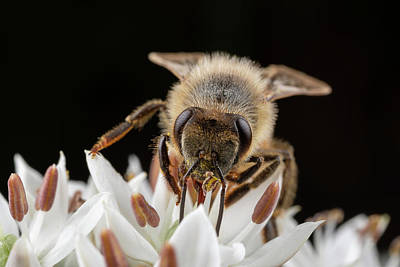 Photograph - Cute Honey Bee 2 by Brian Hale
