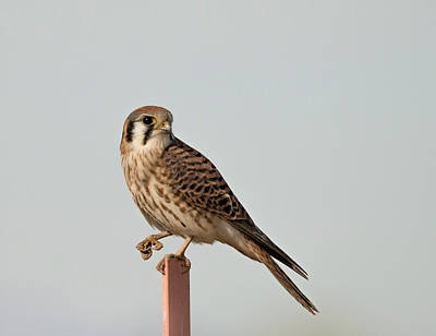 Photograph - Cute Kestrel by Loree Johnson