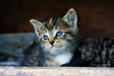Photograph - Cute Kitten Face by Jill Lang