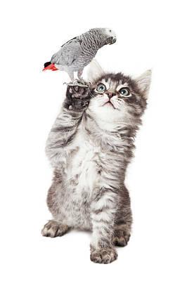Cute Kitten Holding Parrot Bird Art Print