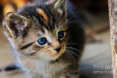 Photograph - Cute Kitten by Jill Lang