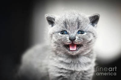 Expression Photograph - Cute Kitten Meows. British Shorthair Cat by Michal Bednarek
