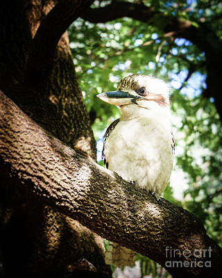 Photograph - Cute Kookaburra by Silken Photography