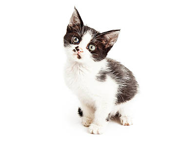 Animals Photos - Cute Little Black and White Kitten Sitting by Good Focused