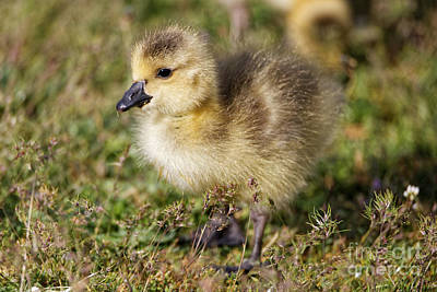 Photograph - Cute Little Canada Goose Baby by Sue Harper