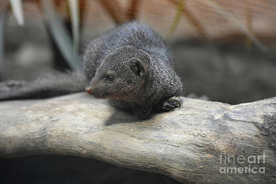 Photograph - Cute Little Dwarf Mongoose Laying On A Rock by DejaVu Designs