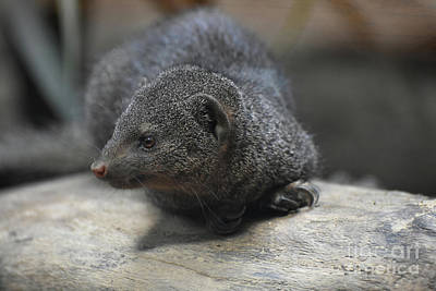 Photograph - Cute Little Dwarf Mongoose On A Rock by DejaVu Designs