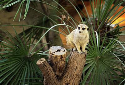 Cute Meerkat In A Zoo - 2 Art Print