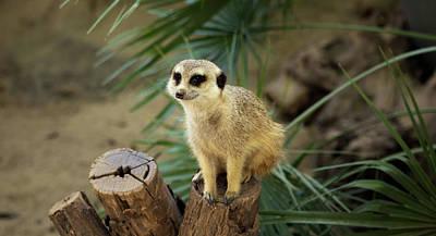 Cute Meerkat In A Zoo - 3 Art Print