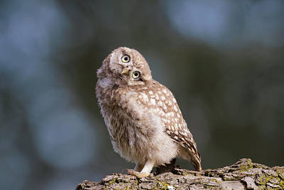 Little Owl Photograph - Cute, Moi? - Baby Little Owl by Roeselien Raimond
