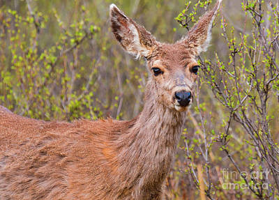 Steven Krull Royalty-Free and Rights-Managed Images - Cute Mule Deer by Steven Krull