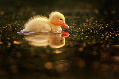 Baby Ducks Photograph - Cute Overload Series - Baby Duck by Roeselien Raimond