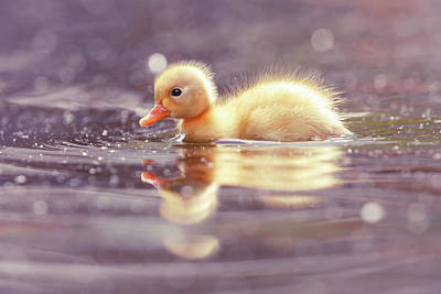 Baby Ducks Photograph - Cute Overload Series - Cute Power by Roeselien Raimond