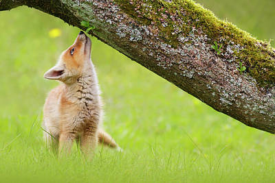 Cute Overload Series - Sniffing Fox Kit Art Print