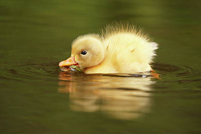 Baby Ducks Photograph - Cute Overload Series - The Very Hungry Duckling by Roeselien Raimond