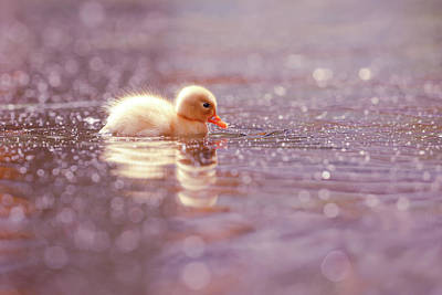Baby Ducks Photograph - Cute Overload Series - Yellow Duckling by Roeselien Raimond