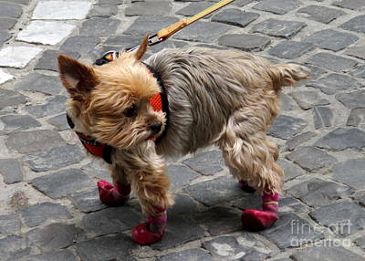 Photograph - Cute Pooch Boots by Randall Weidner