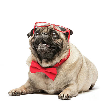 Photograph - Cute Pug Dog In Red Bowtie And Glasses. by Michal Bednarek