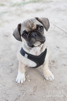 Adorable French Bulldog Puppy Photograph - Cute Puppy Looking Up by Carsten Reisinger