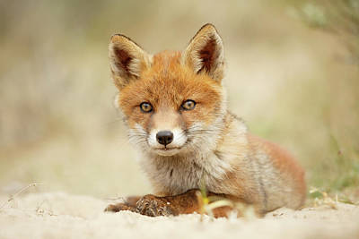 Adorable Photograph - Cute Red Fox In Chill Modus by Roeselien Raimond