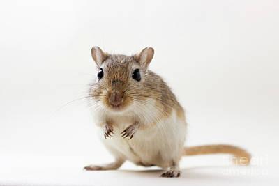 Gerbil Photograph - Cute Rodent by Svetlana Svetlanistaya