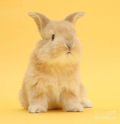 Photograph - Cute Sandy Bunny On Yellow Background by Warren Photographic