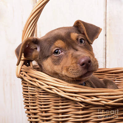 Photograph - Cute Sato Puppy In A Basket by Edward Fielding