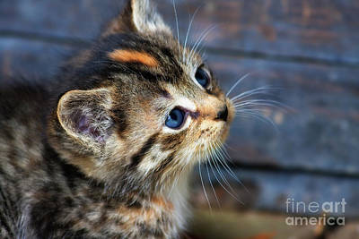 Photograph - Cute Tabby Kitten by Jill Lang
