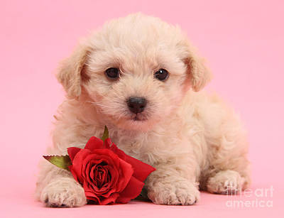Photograph - Cute Valentine Puppy by Warren Photographic