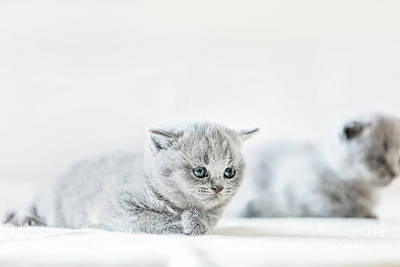 Photograph - Cute Vulnerable Little Kitten. British Shorthair Cat. by Michal Bednarek