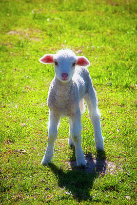 Photograph - Cute Young Lamb by Garry Gay