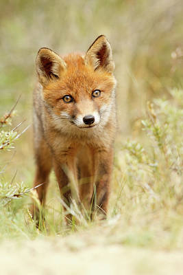 Adorable Photograph - Cute Young Red Fox Cub by Roeselien Raimond